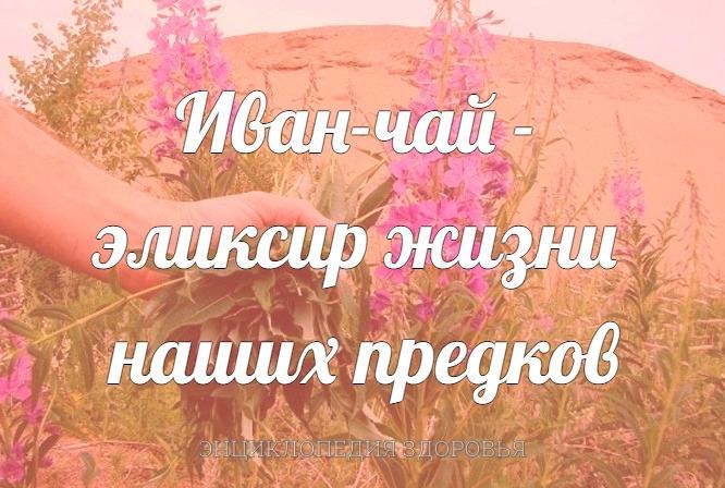 Иван-чай - эликсир жизни наших предков